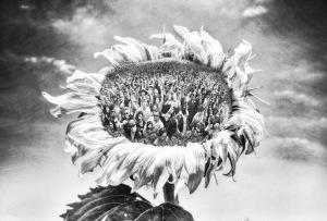 crowd sunflower